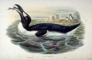 aka The Great Auk (Pinguinus impennis)