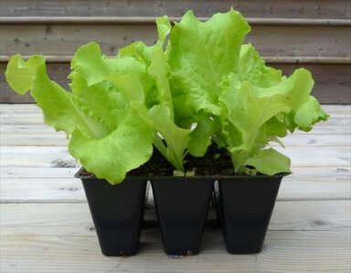 Leaf lettuce seedlings in cell pack