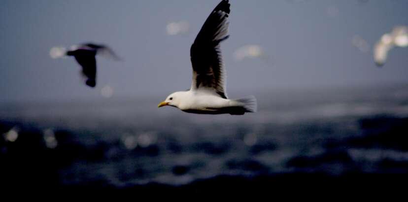 PHOTO: Silver Gull
