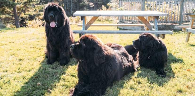 We Found the Biggest Newfoundland Dog in Newfoundland